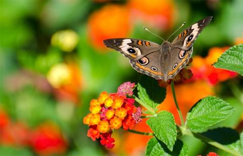 commonbuckeyebutterfly