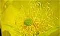 Cactus flower genus Opuntia