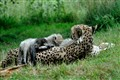 Cheetah with cubs in Chester zoo