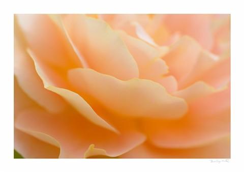 Rose29th1
