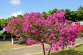 Beautiful tropical flowering tree in Trinidad