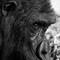 Gorilla-m