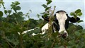 Cow peering through the hedge