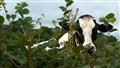 Cow peering through the hedge