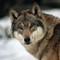 Wolf Innsbruck 18x13