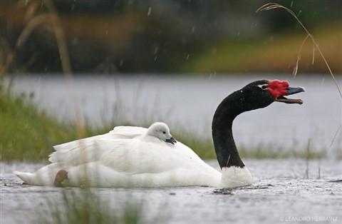cisne-cuello-negro
