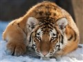 Tiger09