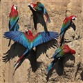 Red and Green Macaws on clay lick in Amazonian Peru
