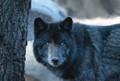 Timber Wolf (El Lobo)