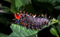 Cairns Birdwing Caterpillar