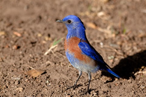 bluebird 1 sm
