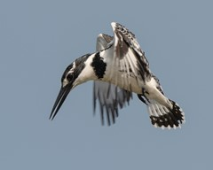 pied Kingfisher in hunt