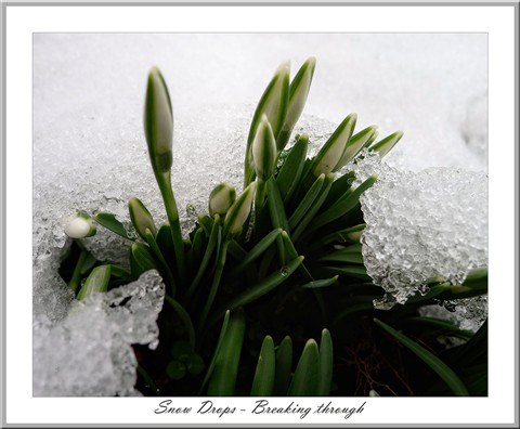 Snow drops breaking through