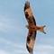 Red Kite IMG_1269