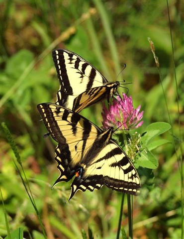 Elwha_SwallowtailButterflies_1X_060909_reduced