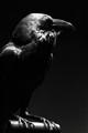 Devil's crow