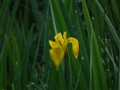Yellow water Iris