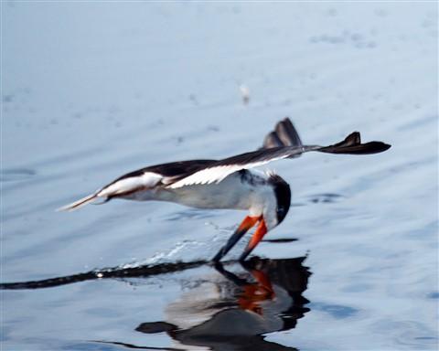 Black Skimmer in Merritt Island (Rynchops niger)