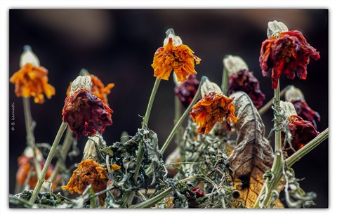 Frozen flowers of the Asteraceae