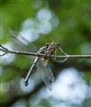 Dragonfly captures grasshopper