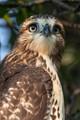 red Tail Hawk in meadow tree