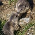 Young marmots in Gran Paradiso National Park, Italian Alps