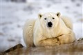 Polar-Bear-Taking-A-Break1