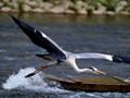 Graceful heron