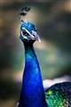 Peafowl