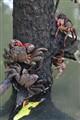 Tree climbing crabs