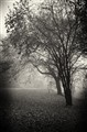 Trees in the mist_noir