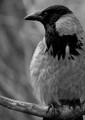 Grey Crow