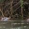 01-31-15 Hippos attentifs