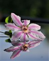 Clematis - Caught in a reflective mood