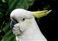 White Cockatoo - Rainforestation, Australia