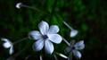 Chitrak-Plumbago Flower