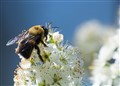 A Bumble Bee's Labor