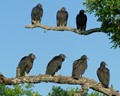 Patience - Vultures Waiting