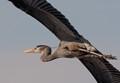 Snapshot of Great Blue Heron