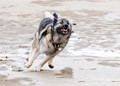 Our Norwegian Elkhound, Rolf, running on the beach