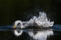 Great egret taking a bath