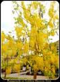 Rajapruek tree