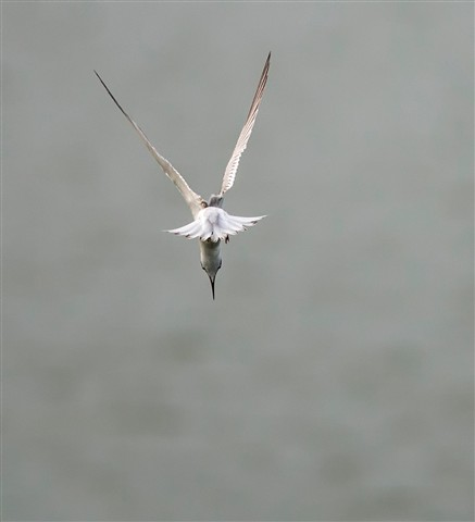 little-tern-dp