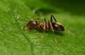 Thirsty Ant