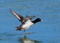 Scaup at Takeoff
