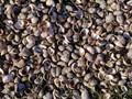 Shells-Steps Beach Natucket MA
