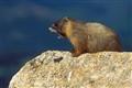 baby-marmott-Edit