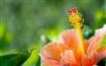 jasud flower