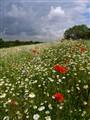 Cornfield Flowers Everywhere