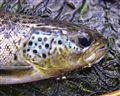 Autumn Landlocked Salmon
